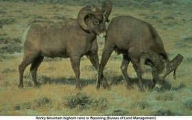 9th bighorn sheep dies in mountain near Tucson