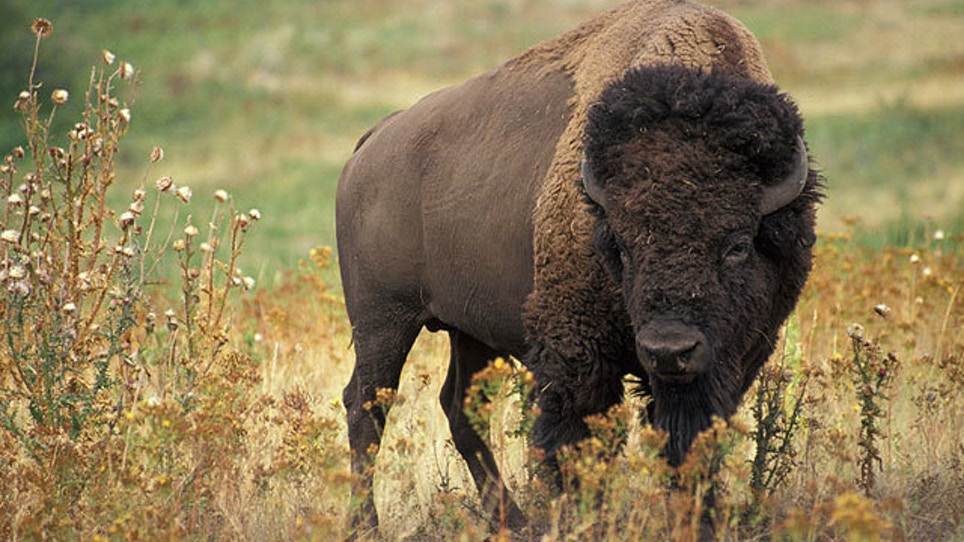 Bison Feel At Home On Jackson Hole Golf Course