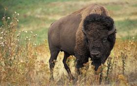 Bison Hunt Starts Slowly In Northwest Wyoming