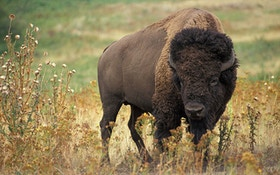 Yellowstone Set To Cull 1,000 Bison
