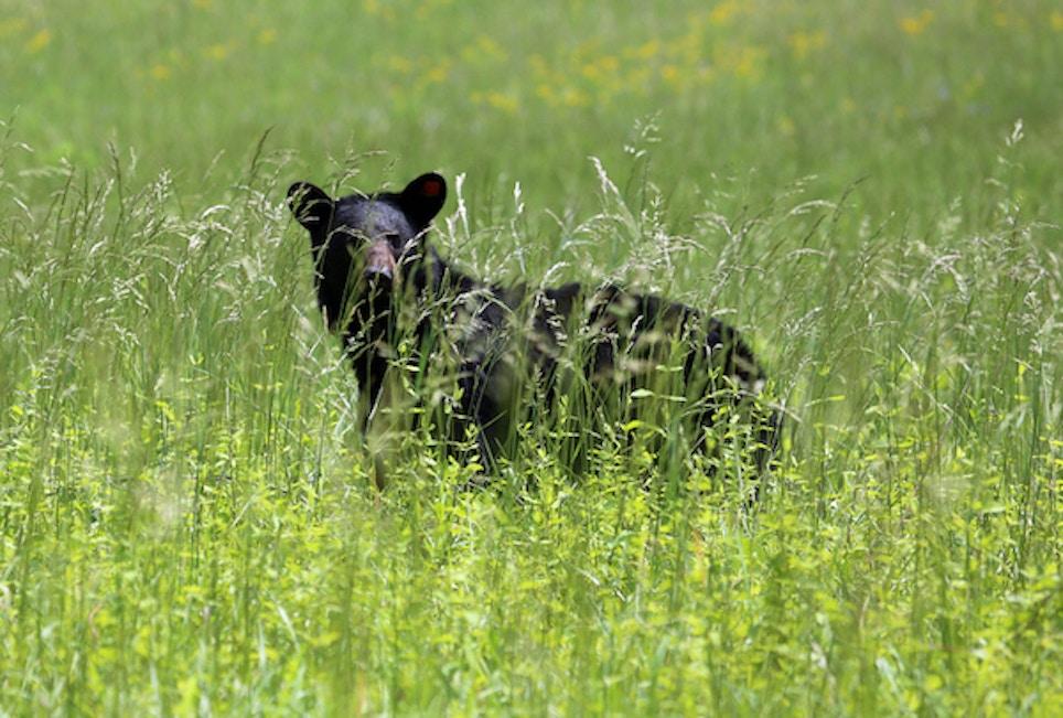 Black Bears Set Up Shop in Iowa