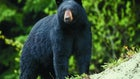 Missouri Officials Seek Comments About Proposed Bear Season