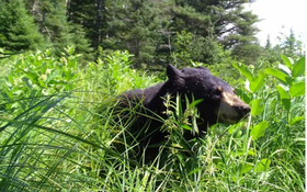 Bear Hunting Permits Reduced After Population Declines