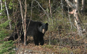 Proven Tips for Calling Black Bears