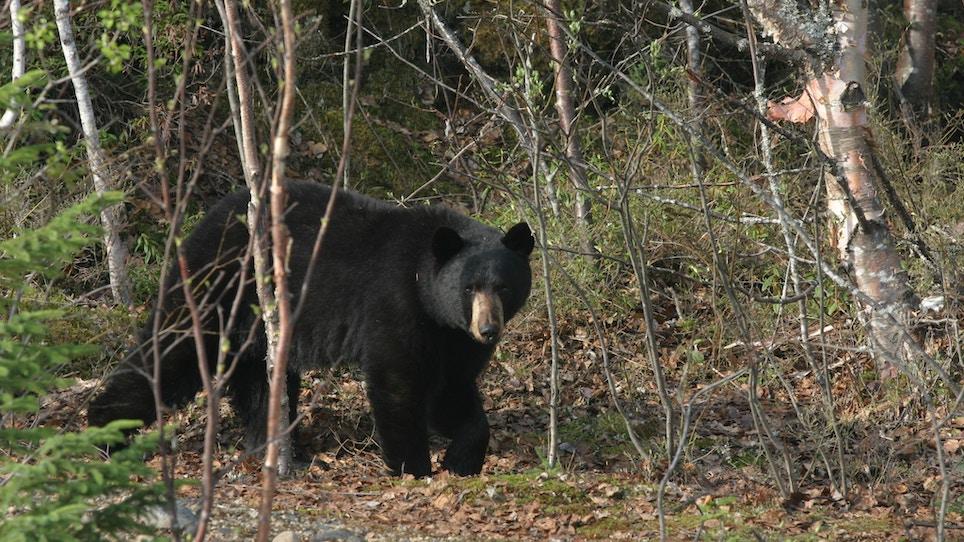 Proven Tips for Calling Black Bears