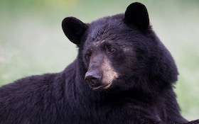 Bear Management In Michigan To Be Discussed