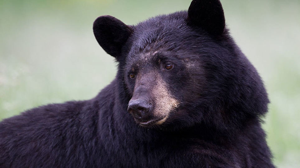 Alaska Men Charged with Illegally Killing Bear Sow, Cubs