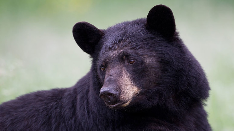 Some Black Bears Are Bigger Than Others. A Lot Bigger. Why?