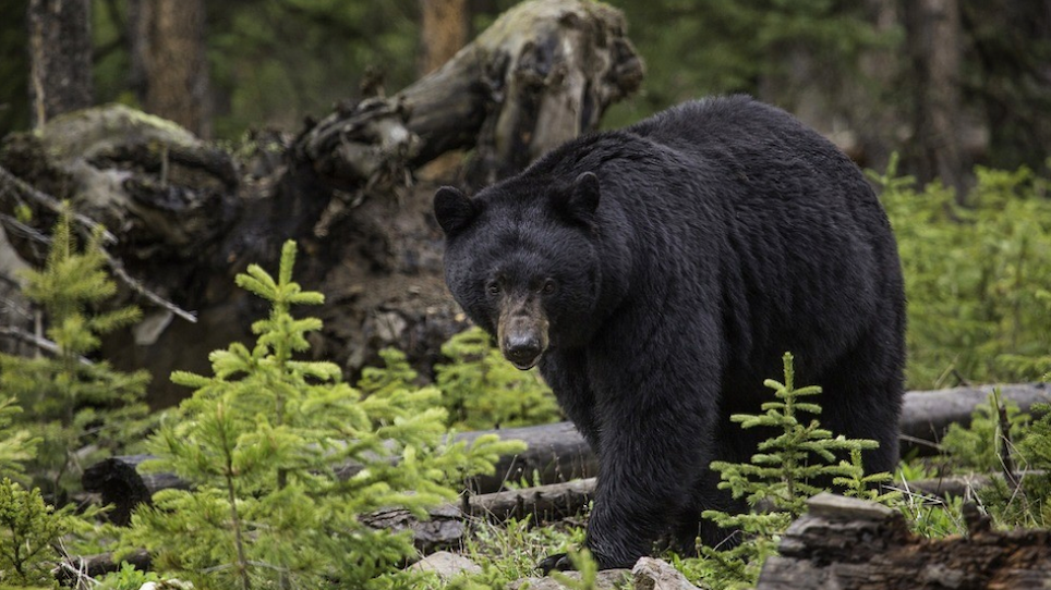 Bear Euthanized After Missing Ginsing Hunter Discovered Scavenged