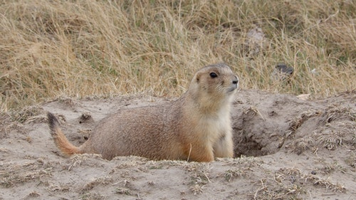 Black-tailed prairie dogs offer hunters great opportunities in spring and summer but beware of risks out in the open country. (Photo: Mark Kayser)