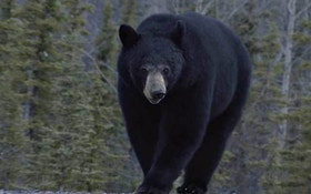 Black Bear Breaks Into Car Destroys Interior