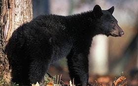 How biologists estimate wild black bear numbers