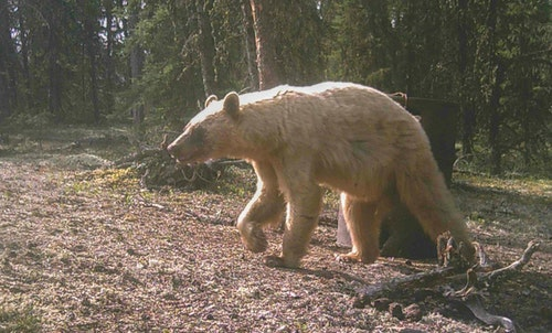 A trail camera photo showed that a blonde bear was at the bait moments before the author arrived.
