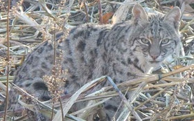 California Game Officials Keep Bobcat Trapping Ban