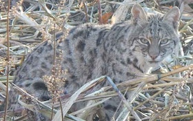 VIDEO: Oregon Kitty Battles Belligerent Bobcat