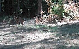 Legislation allowing bobcat hunt gets early OK