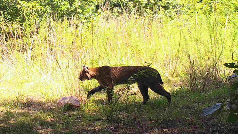 Plan To Allow Illinois Bobcat Hunting Goes To Governor