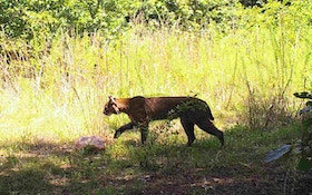 First Jekyll Island Bobcat Confirmed, Prompts Search For More