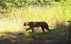 Ohio Game Officials See Boost In Bobcat Population