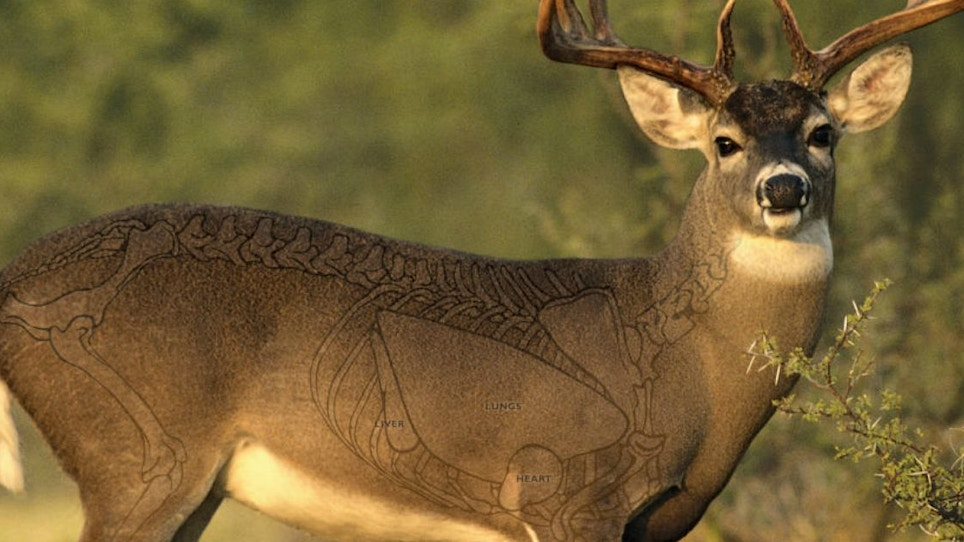 Are You Aiming at the Wrong Spot on a Broadside Whitetail?