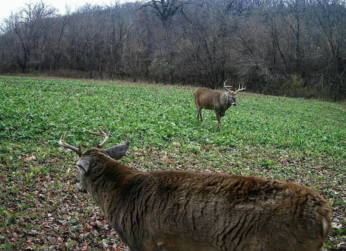 Food plot work completed during spring and late summer can result in exciting whitetail encounters come fall. (Photo courtesy Whitetail Institute of North America.)