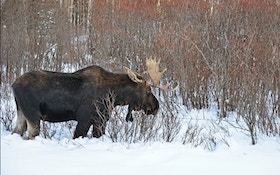 Two Bull Moose Freeze While Fighting