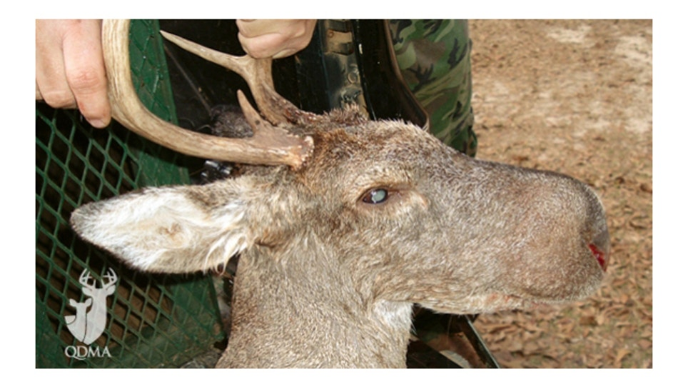 The mysterious Bullwinkle Deer
