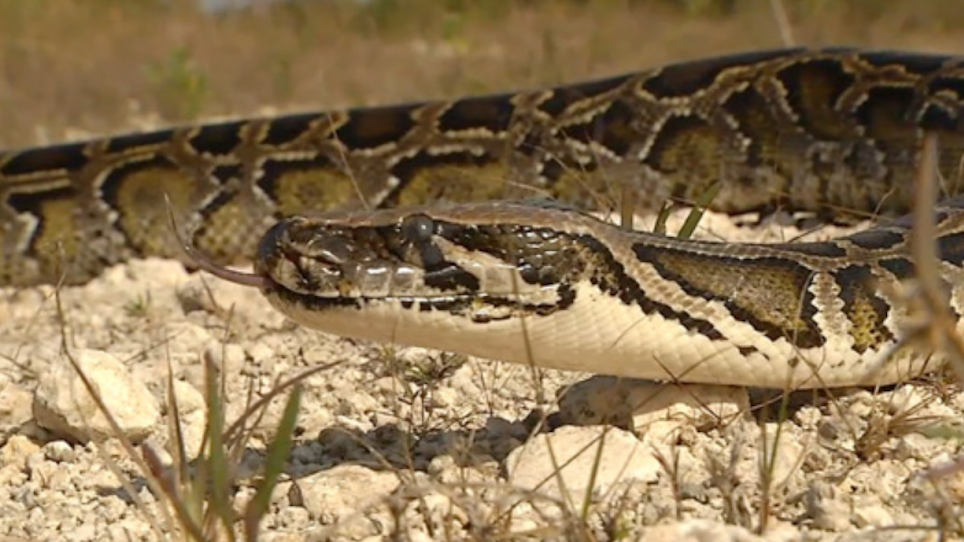Welcome to Our New Outdoors Nightmare: Burmese Pythons