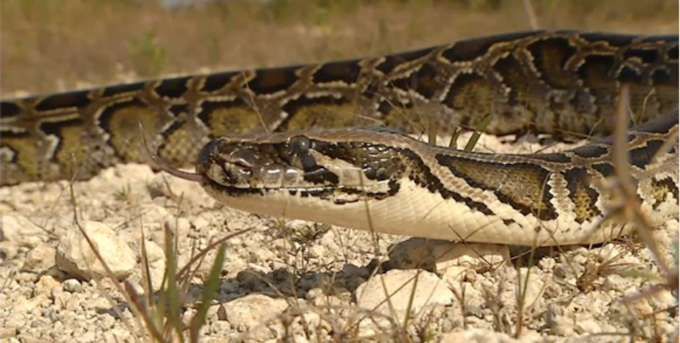Officials: 5,000 Burmese Pythons Removed from Everglades