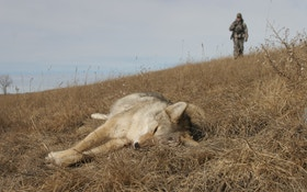 The early hunter gets the coyote