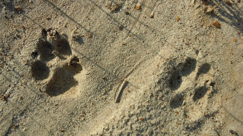 Coyote tracks can be easy clues to gain insight as to where they've come from or are going. (Photo: Mark Kayser)