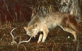 Hunting Tip: Get Secrets From Coyote Poop