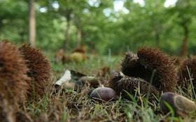 Dunstan Chestnut Trees From Chestnut Hill Outdoors