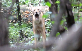 Video: Angry Coyote Howls At Chicago Hiker