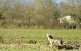 Are You Hunting Nearby Urban Coyote Hideouts?