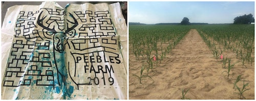 Using the deer diagram as a guide, the growing corn was chopped when it was knee high. Sunlight, moisture and time then turned it into a maze of tall corn stalks.