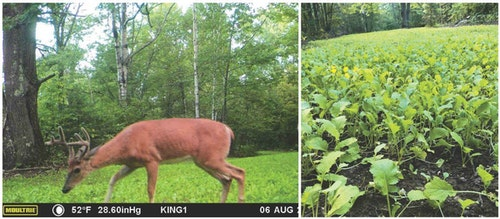 For best whitetail herd health, plant a variety of food plots that deer will use all year.