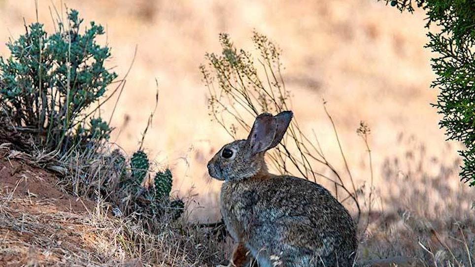 Deadly Hemorrhagic Disease Confirmed in Wild Rabbits