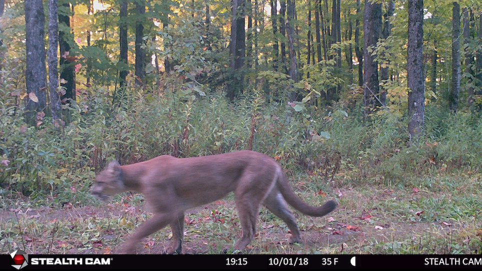 Game Camera Captures Cougar Strolling Through the Woods