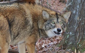 Coyote Captured, Believed Responsible For New Jersey Attack