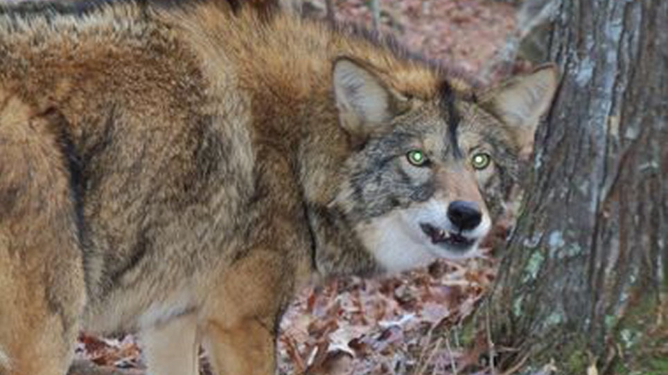 Coyotes Becoming A Common Sight In New Jersey Suburbs