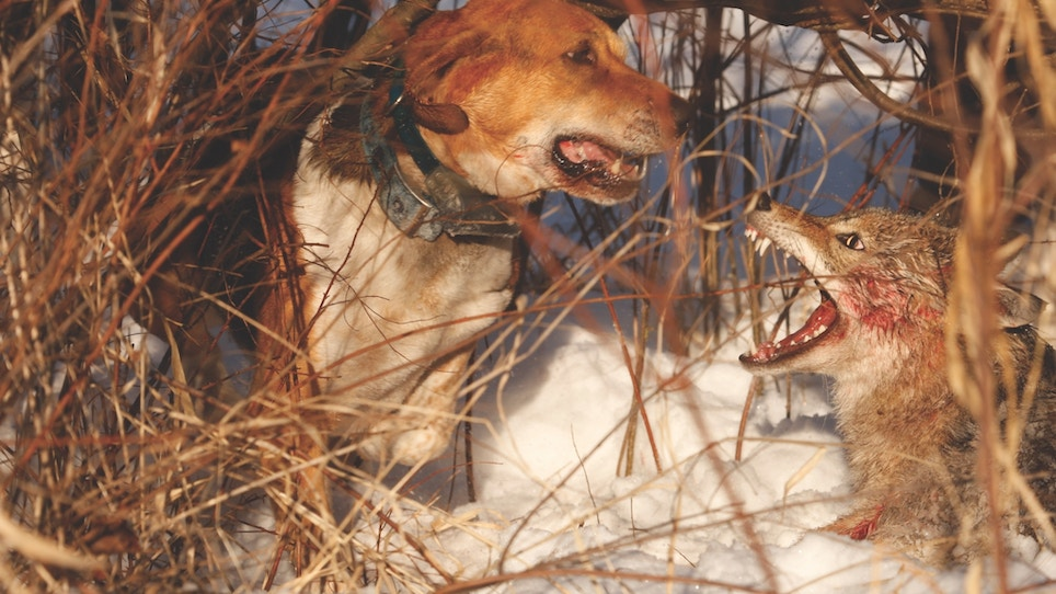 Coyote hunting with hounds is different, exciting