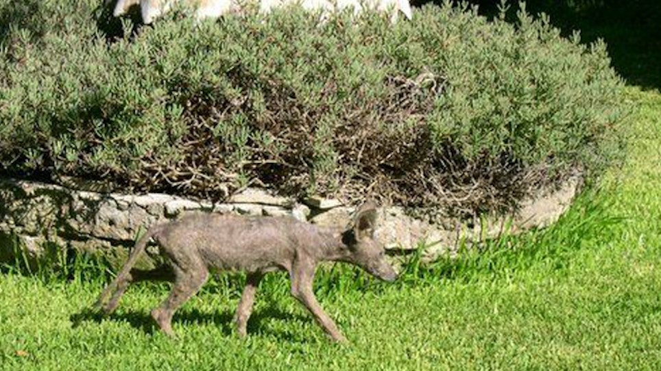Mange can take a toll coyote populations