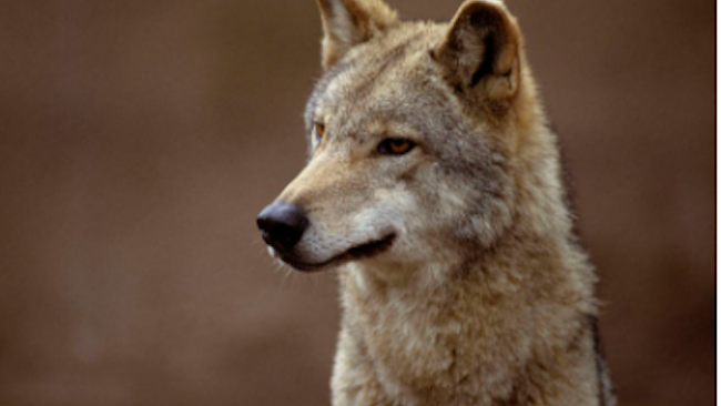 How Does Canine Distemper Affect Coyotes and Foxes?