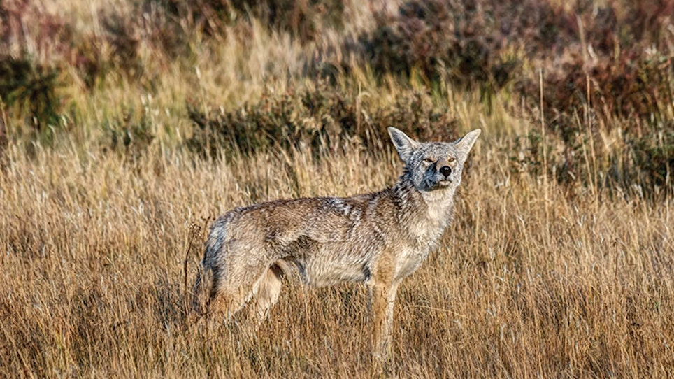Home in on Coyote Home Ranges