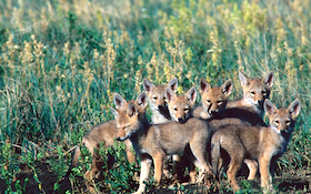 Shoot More Coyotes, Save More Fawns