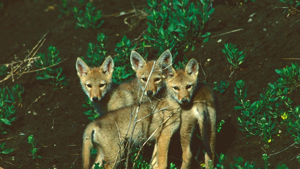 Check Small Game Numbers to Determine Impact of Coyotes