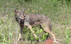 How To Shoot a Running Coyote