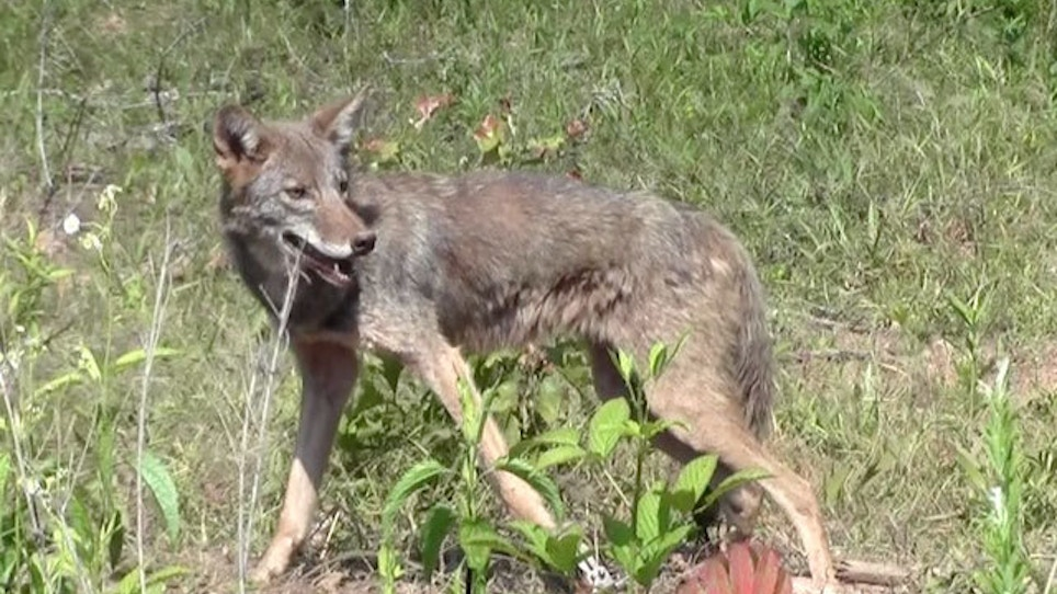 The Best Calls For Summer Coyotes | Grand View Outdoors