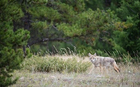 Calling Summertime Coyotes in the Thickets